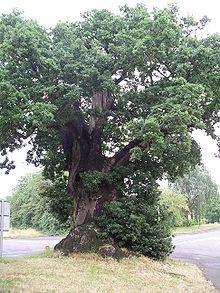 oak -  オーク