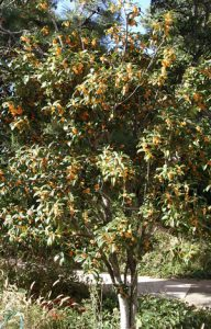 sweet olive金木犀 キンモクセイ