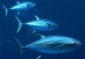 tuna  マグロ