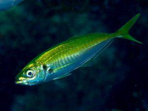Japanese jack mackerel   アジ