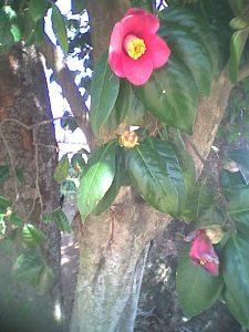 camellia椿 ツバキ