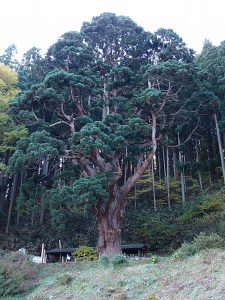 Japanese cedar杉 スギ