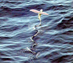 flying fish   トビコ