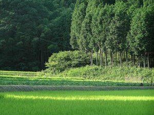 Japanese cypress檜 ヒノキ