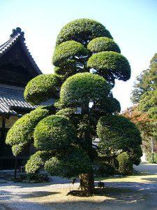 buddist pineクサマキ