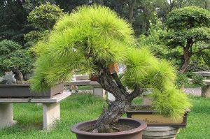 pine松 マツ