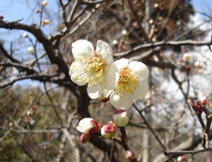 Japanese plum tree梅  ウメ