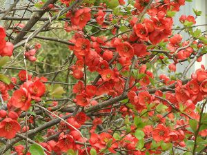 Japanese quince  ボケ