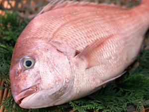 red sea bream   真鯛