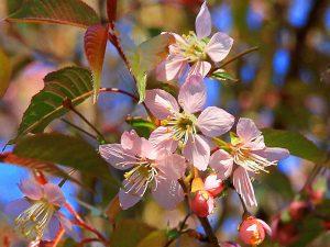 Japanese cherry tree  桜 サクラ
