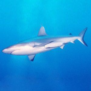 shark   サメ