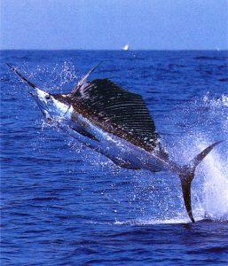 メカジキ swordfish