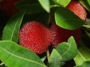 Japanese bayberry山桃 ヤマモモ