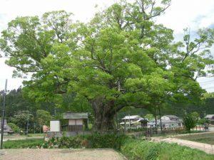 Japanese zelkova欅 ケヤキ